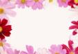정원 속 코스모스 꽃3