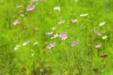 정원 속 코스모스 꽃5