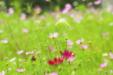 정원 속 코스모스 꽃6
