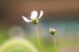 정원 속 코스모스 꽃9