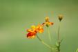 단독사진 꽃 예쁜 코스모스 3