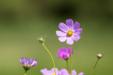 단독사진 꽃 예쁜 코스모스 19