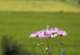 단독사진 꽃 예쁜 코스모스 25