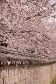 봄 꽃86