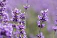 아름다운 라벤더 09