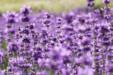 아름다운 라벤더 11