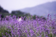 아름다운 라벤더 12