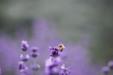 아름다운 라벤더 23