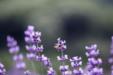 아름다운 라벤더 26