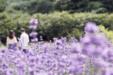 아름다운 라벤더 29