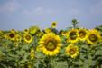 여름 꽃 04